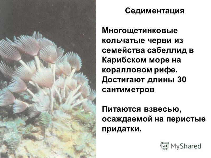 Седиментация Многощетинковые кольчатые черви из семейства сабеллид в Карибском море на коралловом рифе. Достигают длины 30 сантиметров Питаются взвесью, осаждаемой на перистые придатки.