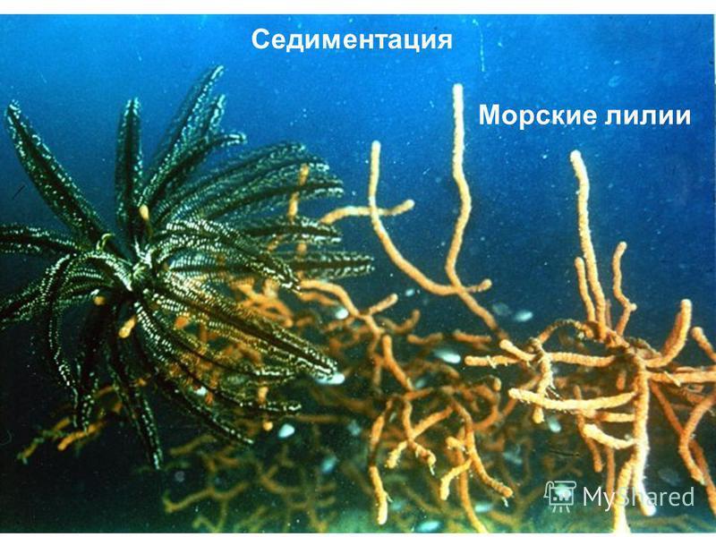 Морские лилии Седиментация