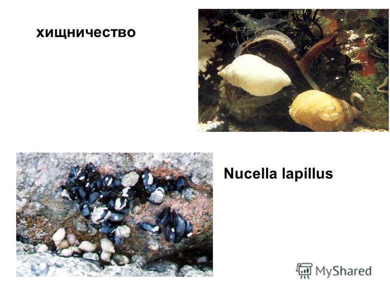 Nucella lapillus хищничество