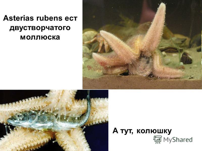 Asterias rubens ест двустворчатого моллюска А тут, колюшку
