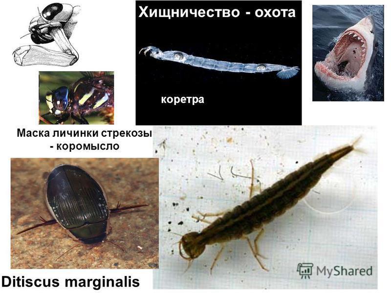 Ditiscus marginalis Хищничество - охота коретра Маска личинки стрекозы - коромысло