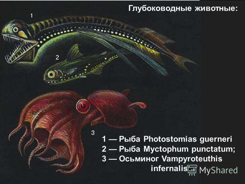 1 Рыба Photostomias guerneri 2 Рыба Myctophum punctatum; 3 Осьминог Vampyroteuthis infernalis Глубоководные животные: