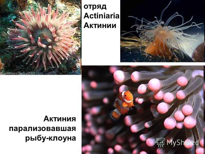отряд Actiniaria Актинии Актиния парализовавшая рыбу-клоуна