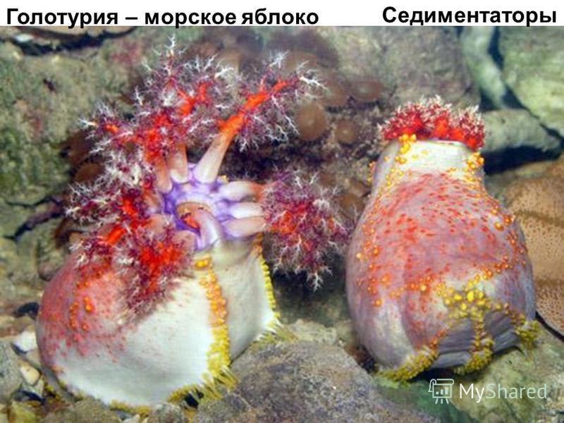 Голотурия – морское яблоко Седиментаторы