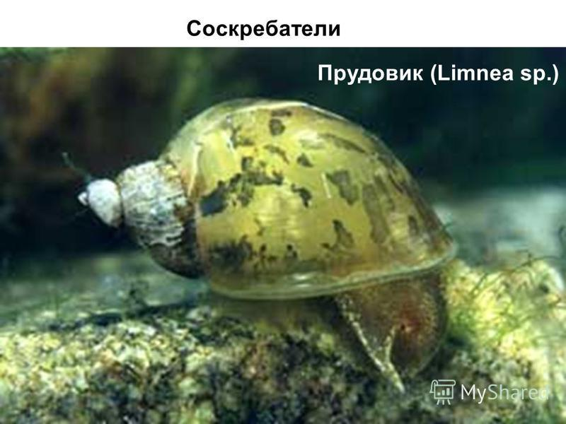 Прудовик (Limnea sp.) Соскребатели