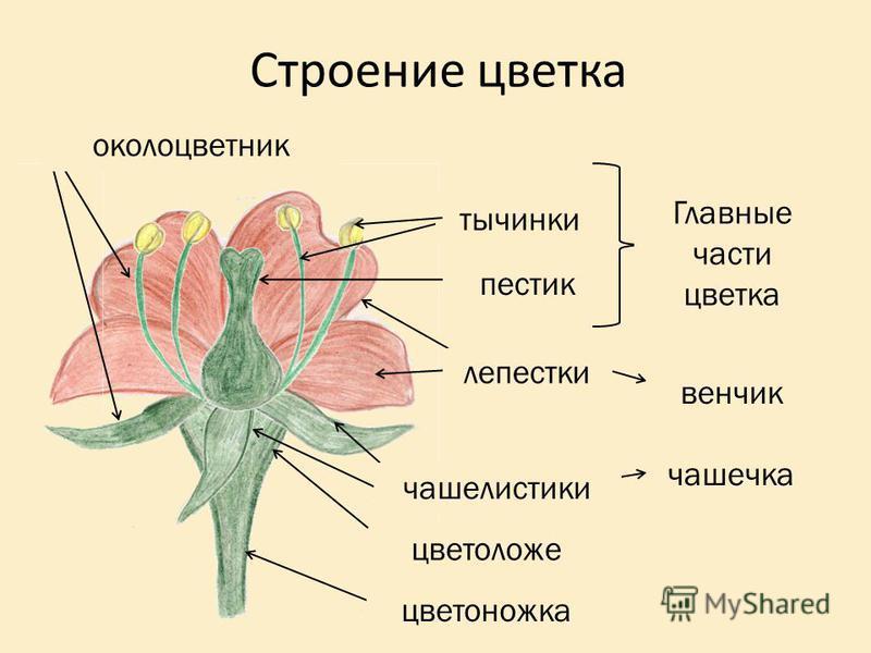 венчик Строение цветка тычинки пестик Главные части цветка лепестки чашечка чашелистики цветоложе цветоножка околоцветник