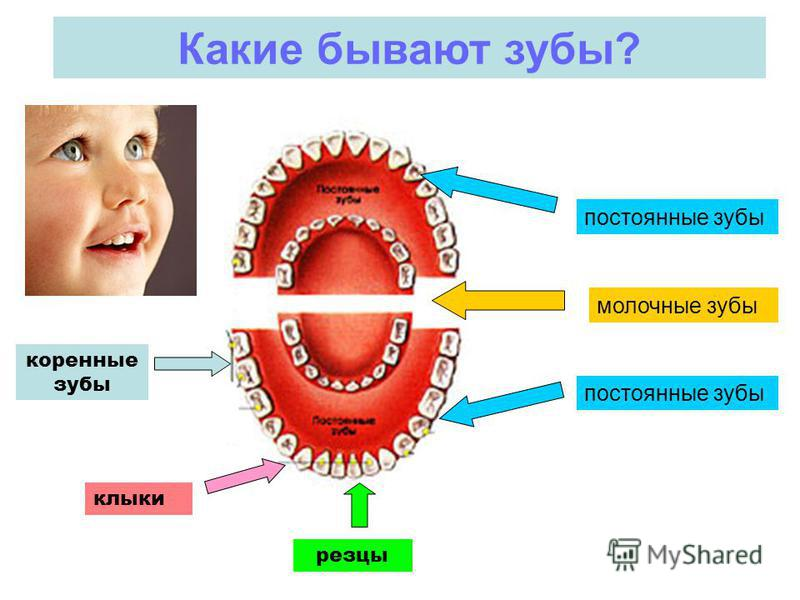 Какие бывают зубы? постоянные зубы молочные зубы резцы клыки коренные зубы