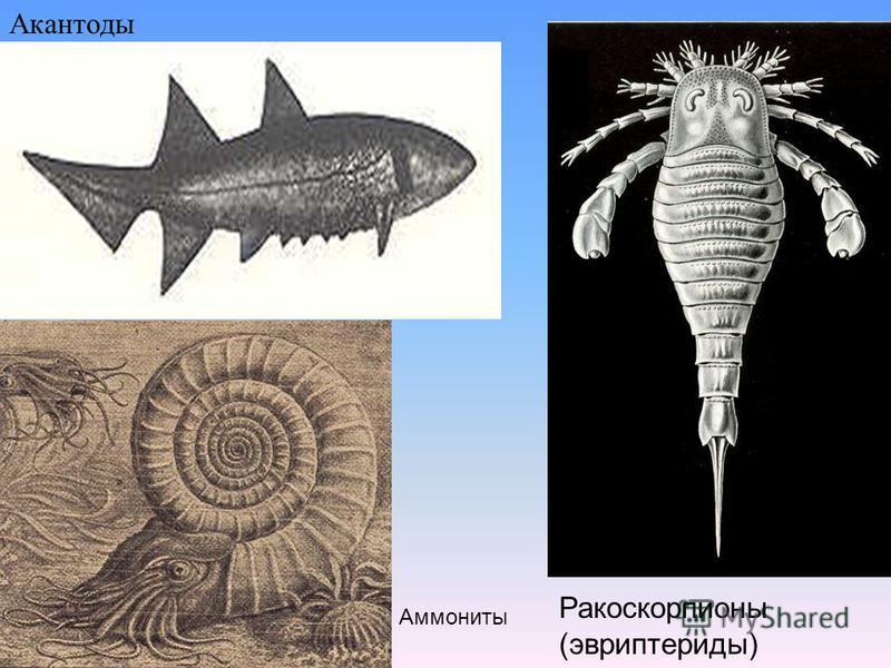 Акантоды Ракоскорпионы (эвриптериды) Аммониты