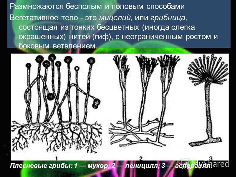 Размножаются бесполым и половым способами Вегетативное тело - это мицелий, или грибница, состоящая из тонких бесцветных (иногда слегка окрашенных) нитей (гиф), с неограниченным ростом и боковым ветвлением. Плесневые грибы: 1 мукор; 2 пеницилл; 3 аспе