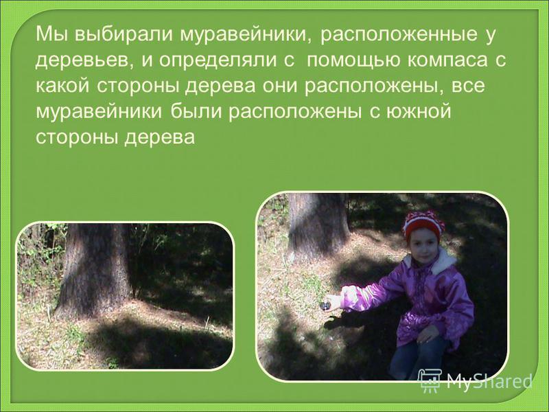 Мы выбирали муравейники, расположенные у деревьев, и определяли с помощью компаса с какой стороны дерева они расположены, все муравейники были расположены с южной стороны дерева