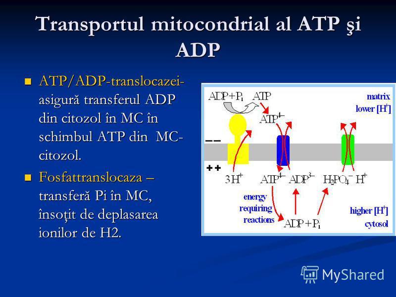 Transportul mitocondrial al ATP şi ADP ATP/ADP-translocazei- asigură transferul ADP din citozol în MC în schimbul ATP din MC- citozol. ATP/ADP-translocazei- asigură transferul ADP din citozol în MC în schimbul ATP din MC- citozol. Fosfattranslocaza –