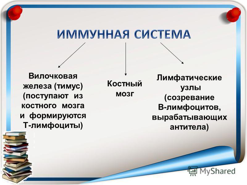 Вилочковая железа (тимус) (поступают из костного мозга и формируются Т-лимфоциты) Костный мозг Лимфатические узлы (созревание В-лимфоцитов, вырабатывающих антитела)