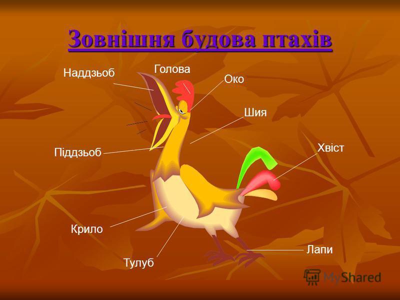 Зовнішня будова птахів Крило Тулуб Лапи Хвіст Шия Наддзьоб Піддзьоб Око Голова