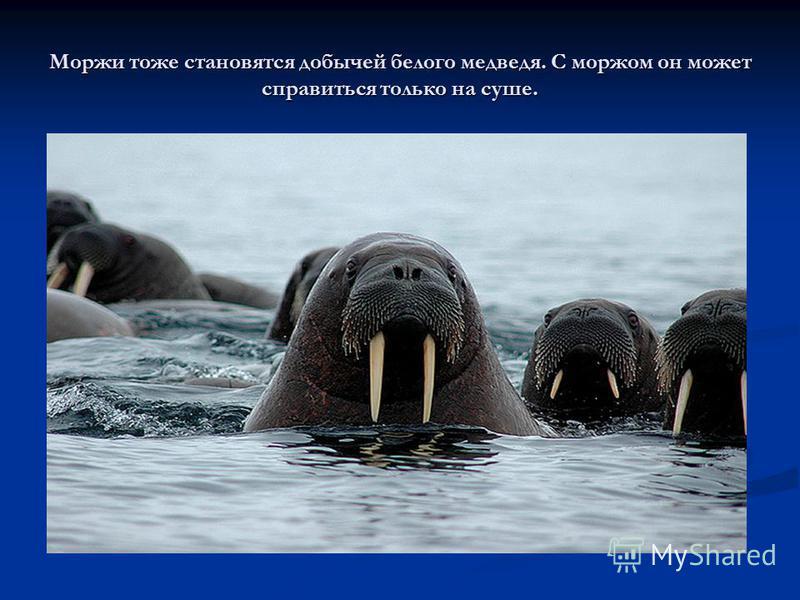 Моржи тоже становятся добычей белого медведя. С моржом он может справиться только на суше.