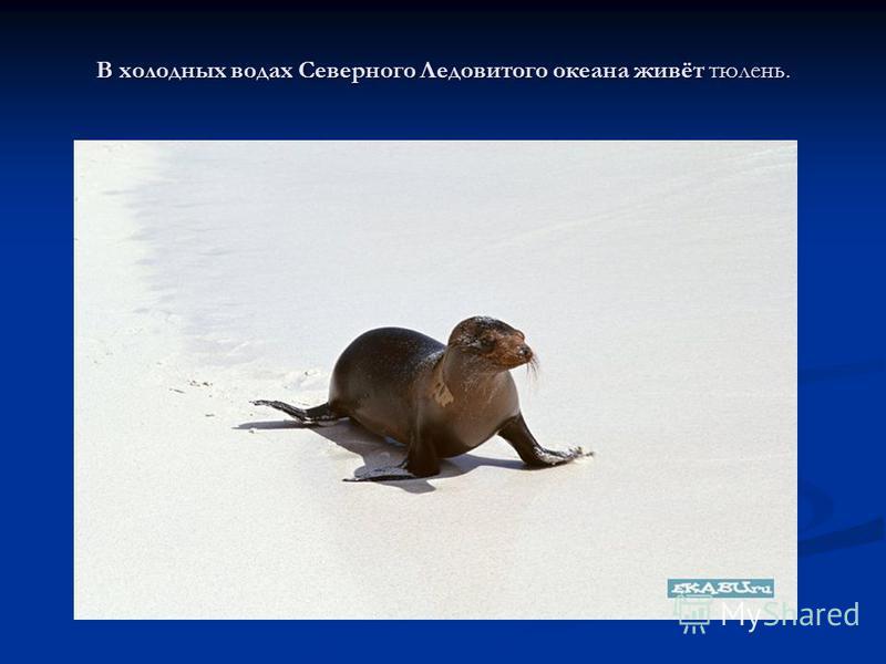 В холодных водах Северного Ледовитого океана живёт тюлень.