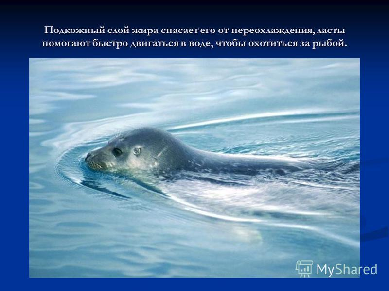 Подкожный слой жира спасает его от переохлаждения, ласты помогают быстро двигаться в воде, чтобы охотиться за рыбой.