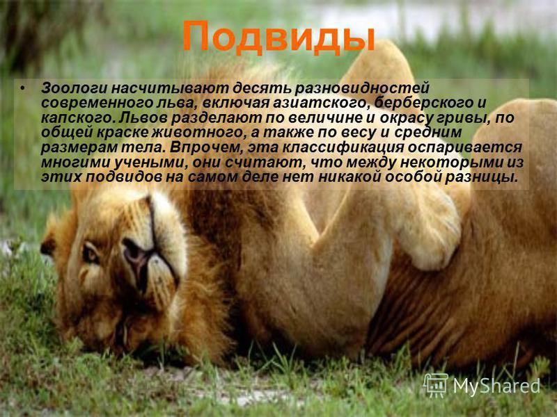 Подвиды Зоологи насчитывают десять разновидностей современного льва, включая азиатского, берберского и капского. Львов разделают по величине и окрасу гривы, по общей краске животного, а также по весу и средним размерам тела. Впрочем, эта классификаци