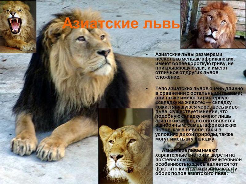 Азиатские львы Азиатские львы размерами несколько меньше африканских, имеют более короткую гриву, не прикрывающую уши, и имеют отличное от других львов сложение. Тело азиатских львов очень длинно в сравнении с остальными львами; они также имеют харак