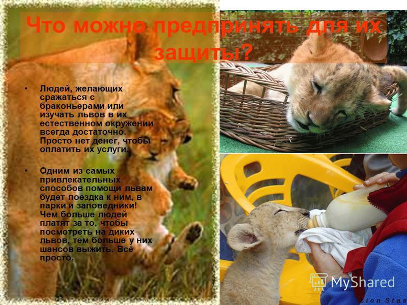 Что можно предпринять для их защиты? Людей, желающих сражаться с браконьерами или изучать львов в их естественном окружении всегда достаточно. Просто нет денег, чтобы оплатить их услуги. Одним из самых привлекательных способов помощи львам будет поез
