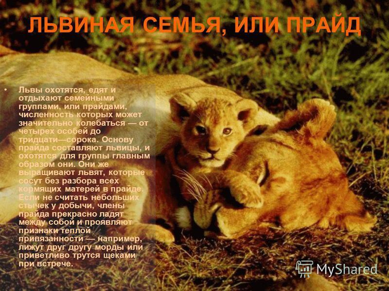 ЛЬВИНАЯ СЕМЬЯ, ИЛИ ПРАЙД Львы охотятся, едят и отдыхают семейными группами, или прайдами, численность которых может значительно колебаться от четырех особей до тридцати сорока. Основу прайда составляют львицы, и охотятся для группы главным образом он