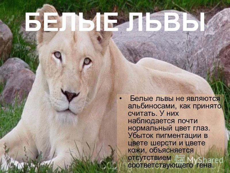 БЕЛЫЕ ЛЬВЫ Белые львы не являются альбиносами, как принято считать. У них наблюдается почти нормальный цвет глаз. Убыток пигментации в цвете шерсти и цвете кожи, объясняется отсутствием соответствующего гена.