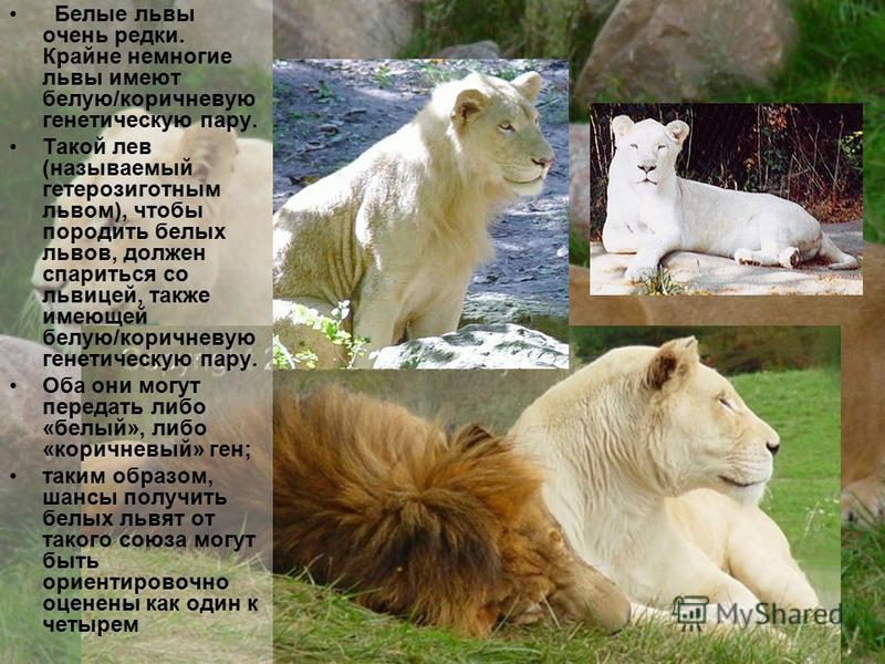 Белые львы очень редки. Крайне немногие львы имеют белую/коричневую генетическую пару. Такой лев (называемый гетерозиготным львом), чтобы породить белых львов, должен спариться со львицей, также имеющей белую/коричневую генетическую пару. Оба они мог