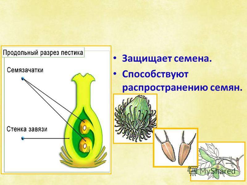Защищает семена. Способствуют распространению семян.