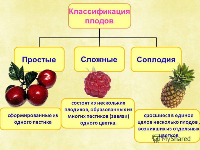 Классификация плодов Простые Сложные Соплодия состоят из нескольких плодиков, образованных из многих пестиков (завязи) одного цветка. сформированные из одного пестика сросшиеся в единое целое несколько плодов, возникших из отдельных цветков