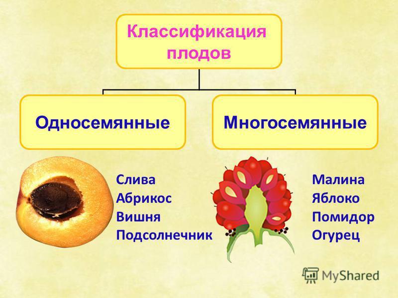 Классификация плодов Односемянные Многосемянные Слива Абрикос Вишня Подсолнечник Малина Яблоко Помидор Огурец