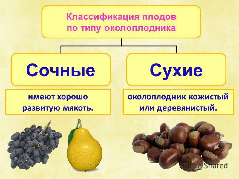 Классификация плодов по типу околоплодника Сочные Сухие имеют хорошо развитую мякоть. околоплодник кожистый или деревянистый.