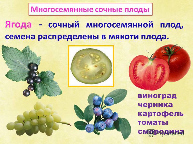 Многосемянные сочные плоды Ягода - сочный многосемянной плод, семена распределены в мякоти плода. виноград черника картофель томаты смородина