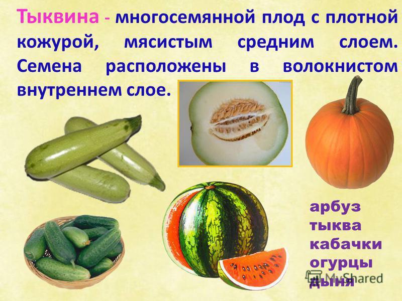 Тыквина - многосемянной плод с плотной кожурой, мясистым средним слоем. Семена расположены в волокнистом внутреннем слое. арбуз тыква кабачки огурцы дыня