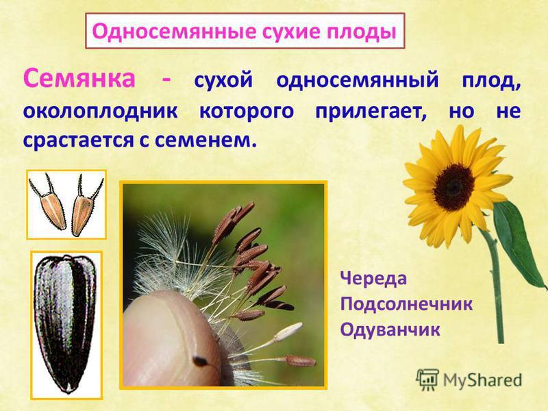 Односемянные сухие плоды Семянка - сухой односемянный плод, околоплодник которого прилегает, но не срастается с семенем. Череда Подсолнечник Одуванчик