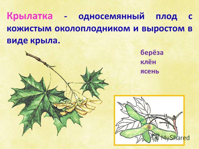 берёза клён ясень Крылатка - односемянный плод с кожистым околоплодником и выростом в виде крыла.