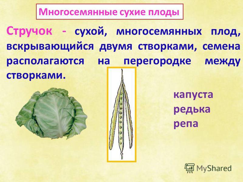 Многосемянные сухие плоды Стручок - сухой, многосемянных плод, вскрывающийся двумя створками, семена располагаются на перегородке между створками. капуста редька репа
