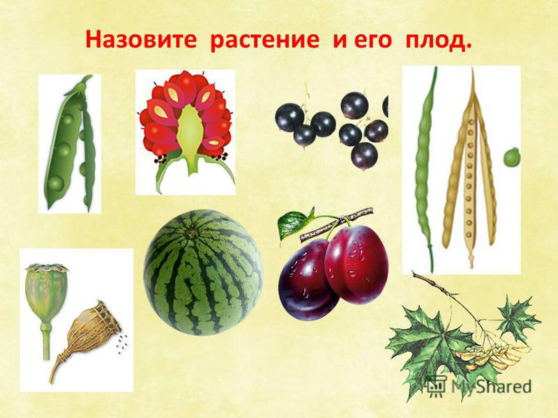 Назовите растение и его плод.
