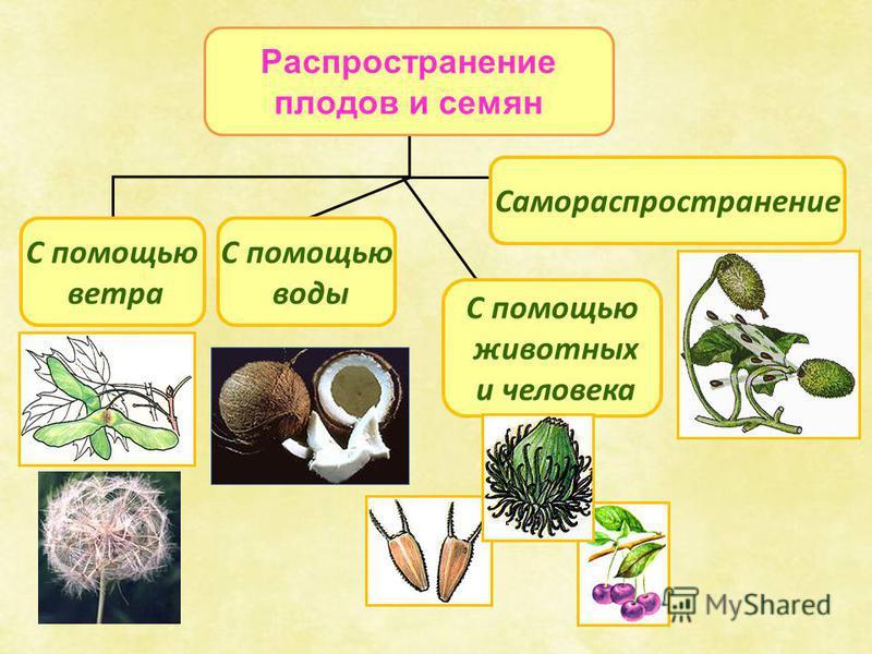 Распространение плодов и семян С помощью ветра Самораспространение С помощью воды С помощью животных и человека