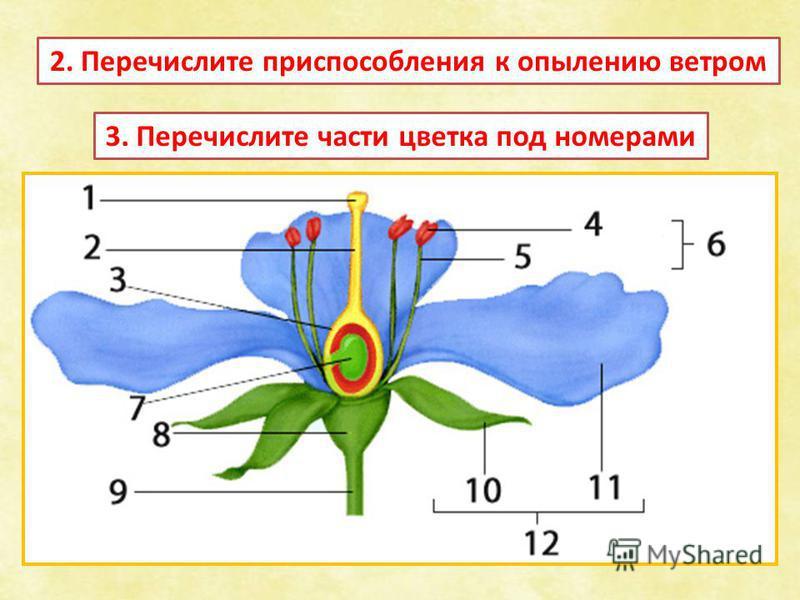 2. Перечислите приспособления к опылению ветром 3. Перечислите части цветка под номерами