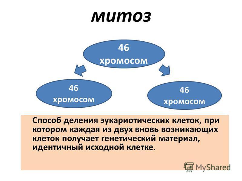 митоз Способ деления эукариотических клеток, при котором каждая из двух вновь возникающих клеток получает генетический материал, идентичный исходной клетке. 46 хромосом