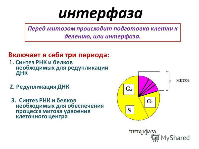 интерфаза Включает в себя три периода: 1. Синтез РНК и белков необходимых для редупликации ДНК 2. Редупликация ДНК 3. Синтез РНК и белков необходимых для обеспечения процесса митоза удвоения клеточного центра Перед митозом происходит подготовка клетк