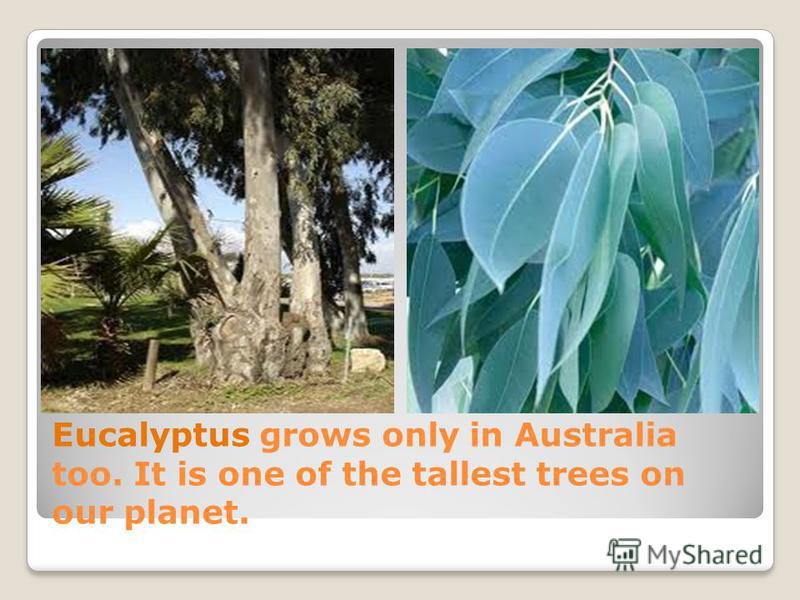 Eucalyptus grows only in Australia too. It is one of the tallest trees on our planet.