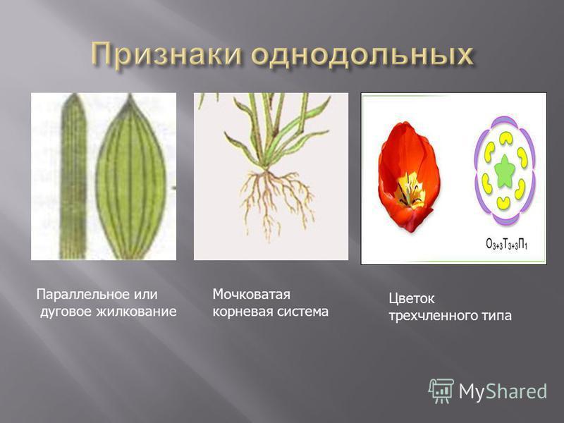 Параллельное или дуговое жилкование Мочковатая корневая система Цветок трехчленного типа