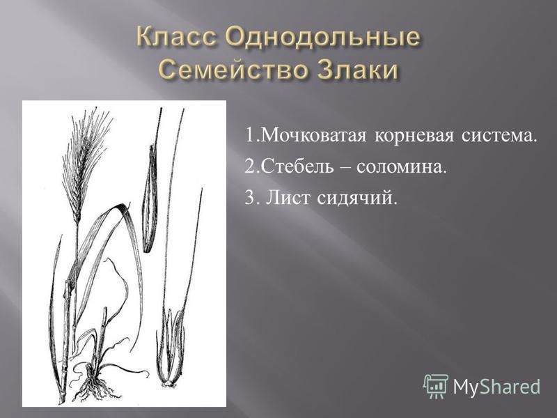 1. Мочковатая корневая система. 2. Стебель – соломина. 3. Лист сидячий.