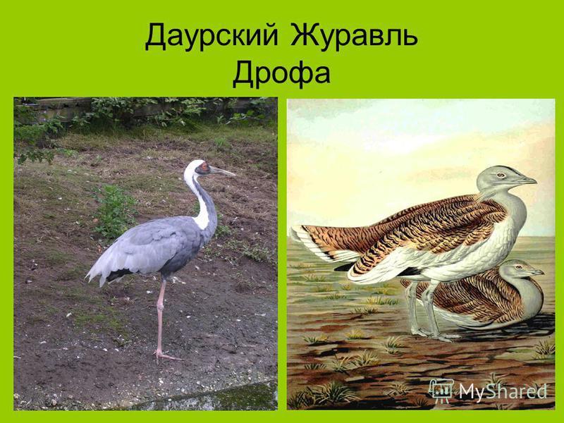 Даурский Журавль Дрофа
