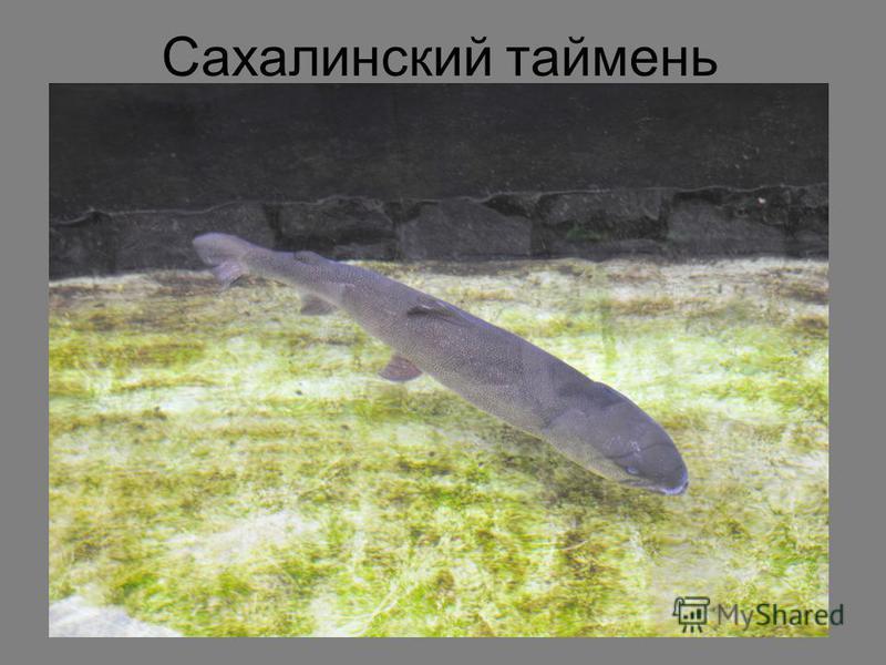 Сахалинский таймень