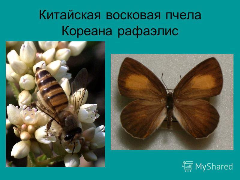 Китайская восковая пчела Кореана рафаэлис