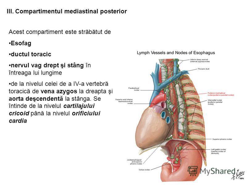 III. Compartimentul mediastinal posterior Acest compartiment este străbătut de Esofag ductul toracic nervul vag drept şi stâng în întreaga lui lungime de la nivelul celei de a IV-a vertebră toracică de vena azygos la dreapta şi aorta deşcendentă la s