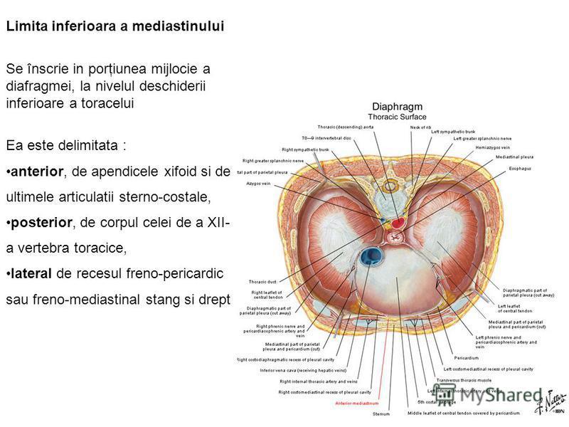 Limita inferioara a mediastinului Se înscrie in porţiunea mijlocie a diafragmei, la nivelul deschiderii inferioare a toracelui Ea este delimitata : anterior, de apendicele xifoid si de ultimele articulatii sterno-costale, posterior, de corpul celei d