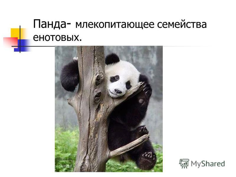 Панда - млекопитающее семейства енотовых.