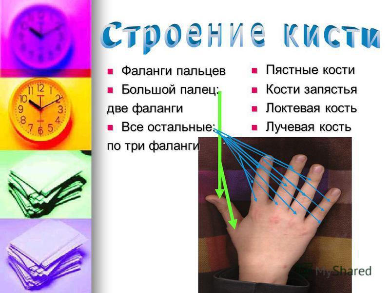 Большой палец: Большой палец: две фаланги Все остальные: Все остальные: по три фаланги Пястные кости Пястные кости Кости запястья Кости запястья Локтевая кость Локтевая кость Лучевая кость Лучевая кость